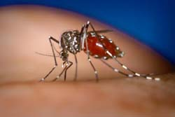 Dengue Fever cause by Andes Mosqitoes